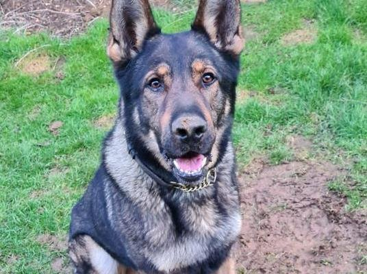 Rocky is one of the Northamptonshire Police Dogs' newest recruits